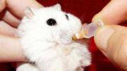 仓鼠宝宝出生没多久,突然被妈妈啃咬起来,到底发生了什么?